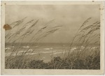 Ocean view through sea oats by Horry County Historical Society